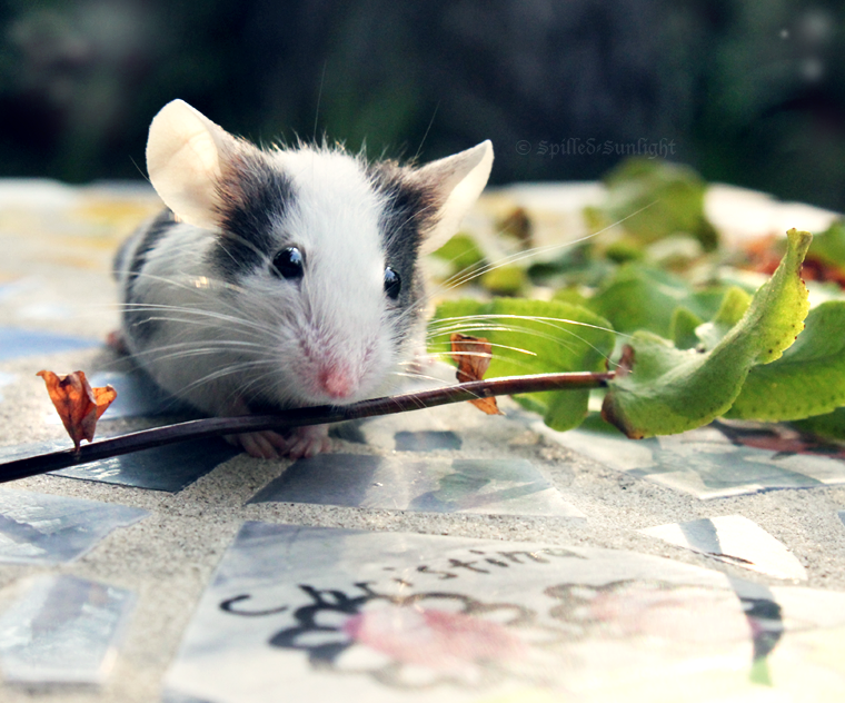 """Imagen de un ratón sujetando una ramita para ilustrar el relato """"Consciencia"""""""