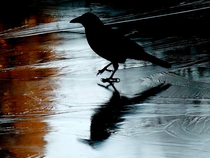 Cuervo caminando sobre el hielo, para ilustrar el relato Cría cuervos